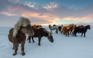 cavalli nel tour in islanda