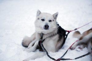 husky visto in finlandia