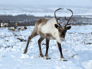 safari con le renne a Rovaniemi